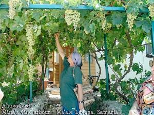 Israel - Minas Weindach - Ma'ale Levona, Samaria