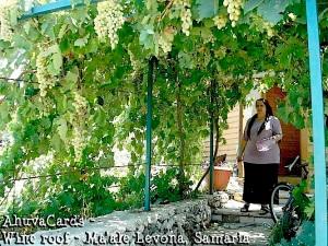 Israel - Minas Weinlaube