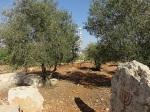 Links - mein Olivenbaum - gepflanzt 2002