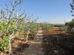 Weg durch die Feigenbaumallee zum Josua Altar